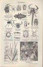 Lithografie 1910: Spinnentiere. Ställe.