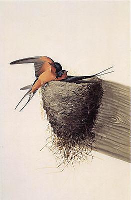 Audubon Reproductions: Watercolor Study - Barn Swallow -  Fine Art Print
