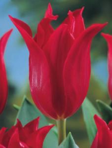 10,20 oder 50 Lilienblütige Tulpen Red Shine Tulpenzwiebeln Lieferbar 9.9.
