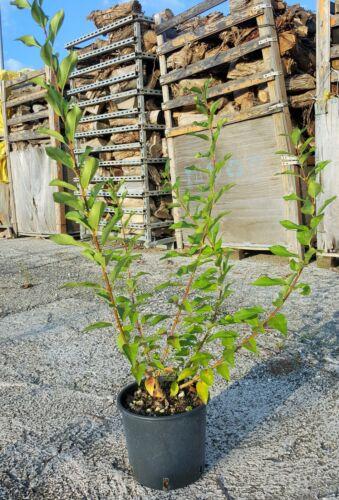 Forsythia vaso 18