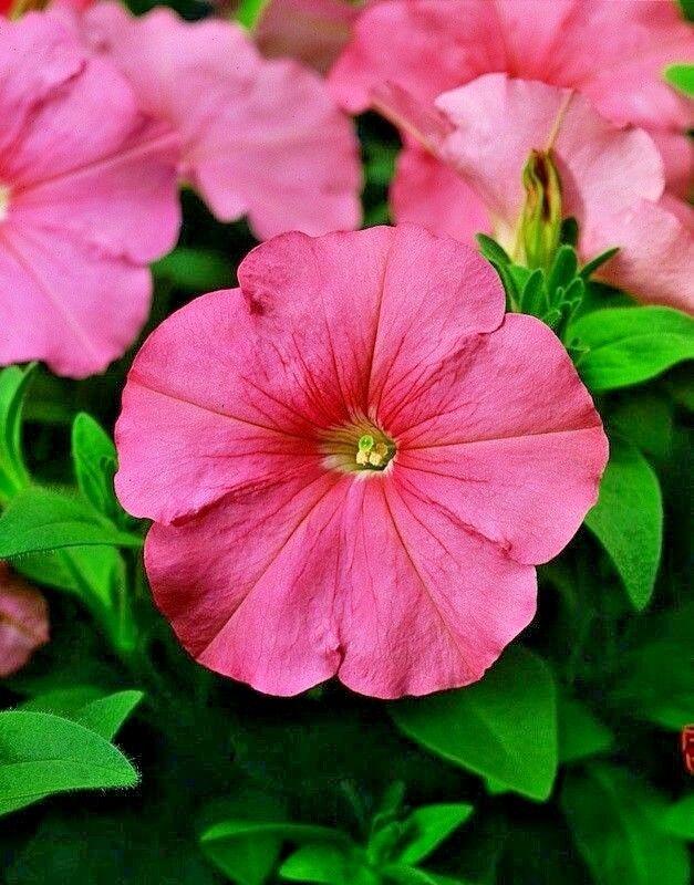 Seeds flower Petunia x hybrida Avalanche F1 Pink from Ukraine