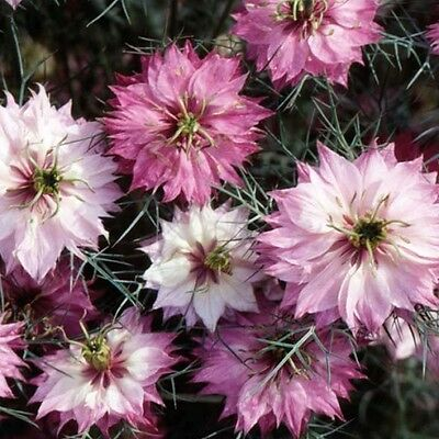 Nigella damascena 'Mulberry Rose' / Love-in-a-Mist / 600 Seeds
