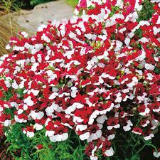 Nemesia strumosa Nemesia Mello Red /& White Seeds