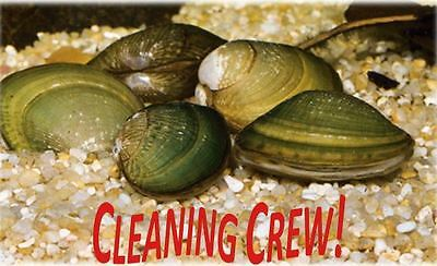 75 Live Freshwater Clams Pond Aquarium Filter Feeders Water Clarifier Captive