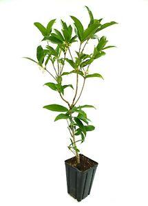 OSMANTHUS FRAGRANS 1 Pianta vaso 9x9x13 cm olea fiori profumo osmanto odoroso