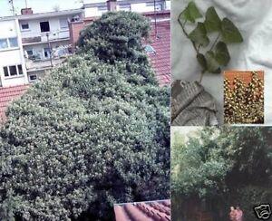 Efeu Samen selbst kletternde Pflanzen Kletterpflanze<wbr/>n für den Garten die Wohnung