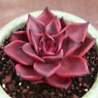 Echeveria Seeds Agavoides v. Romeo Rubin 100 200 500 Succulent Fleshy Plant Seed