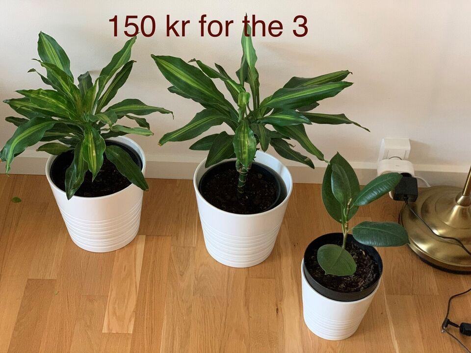 Bonsai- Monstera-snake plant