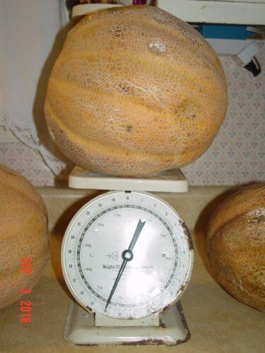 //Grand 4 concours//très doux Minerva CANTALOUP//grandit à 15 lb environ 6.80 kg