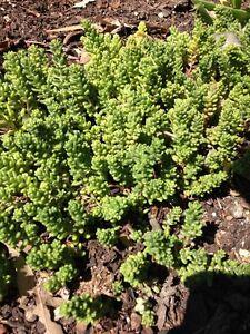 SEDUM-034-ACRE-034-Ground-Cover-Succulent-Cactus-Hanging-Basket-Plant