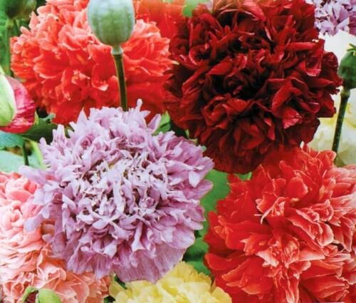 Poppy Peony Double Mixed 100 Seeds Red Pink White Purple Beautiful Flowers