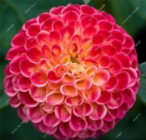Us Seller Rare Beautiful Perennial Dahlia Flowers Seeds 100pcsc