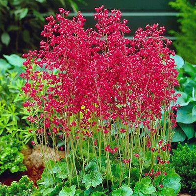 FREE P&P LARGE PACKET RED CORAL BELLS 12 000 seeds Heuchera Sanguinea  perennial