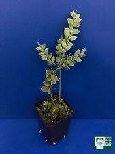 RUSCUS ACULEATUS vq Pungitopo Butcher's broom Arbusto sempreverde bacche rosse