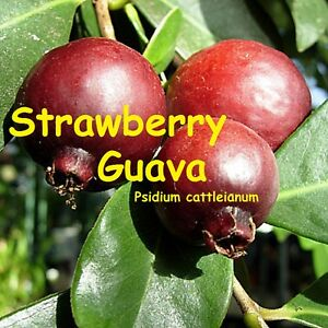 RED-STRAWBERRY-GUAVA-Psidium-cattleianum-YUMMY-FRUITS-Potd-small-starter-Plant