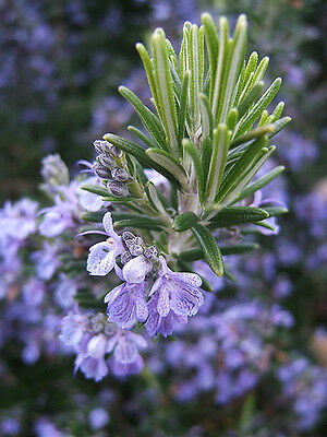 ROSEMARY 15 seeds culinary edible herb garden COMPANION PLANT spring vegetable