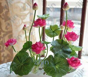 10-Graines-Fleur-de-LOTUS-Sacre-ROSE-Cultiver-en-interieur-BASSIN-Toute-l-039-Annee