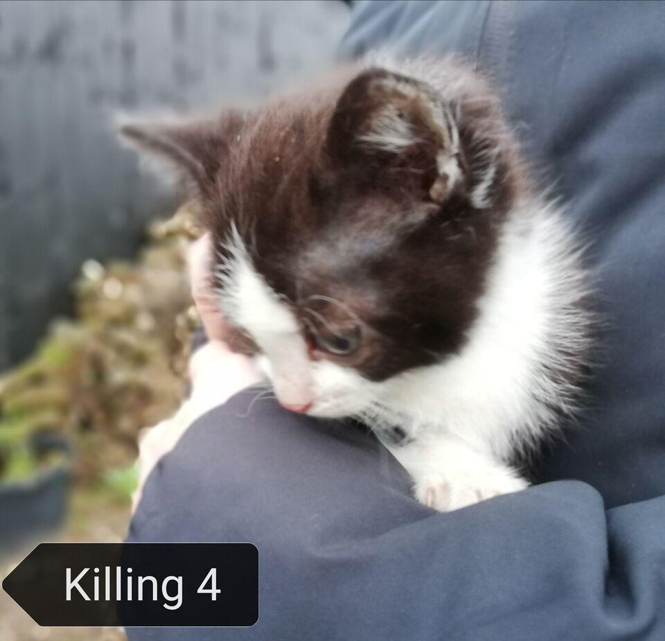 Flere killinger, Huskat, 10 uger