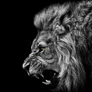 sticker poster a4 animaux sauvage savage animal lion black and white