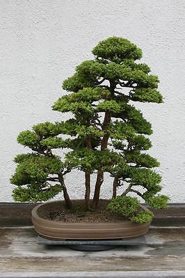 Japanese cedar Cryptomeria japonica   outdoor bonsai tree  seeds figofago