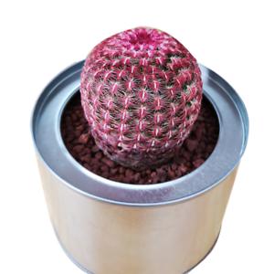 Succulent-Cactus-Live-Rare-Plant-Echinocereus-Rigidissimus-Var-Rubrispinus-5cm