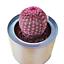 Succulent-Cactus-Live-Rare-Plant-Echinocereus-Rigidissimus-Var-Rubrispinus-5cm thumbnail 1