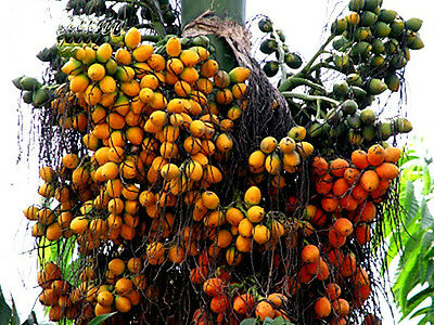 *UNCLE CHAN* 3 SEED BETEL NUT PALM ARECA CATECHU CLEAN VIABLE FRESH RARE