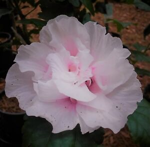 3 Live Plants Double Solid Pink Flowers Althea Rose Of Sharon
