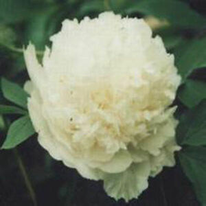 Late white flower chinas peony seed paeonia suffruticosa tree diy image is loading late white flower china 039 s peony seed mightylinksfo
