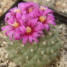Strombocactus esperanzae, exotic rare cactus purple flower color seed 100 SEEDS