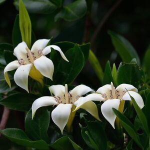 RARE 5 graines Gardénia des forêts K14 FOREST GARDENIA SEEDS Gardenia Thunbergia