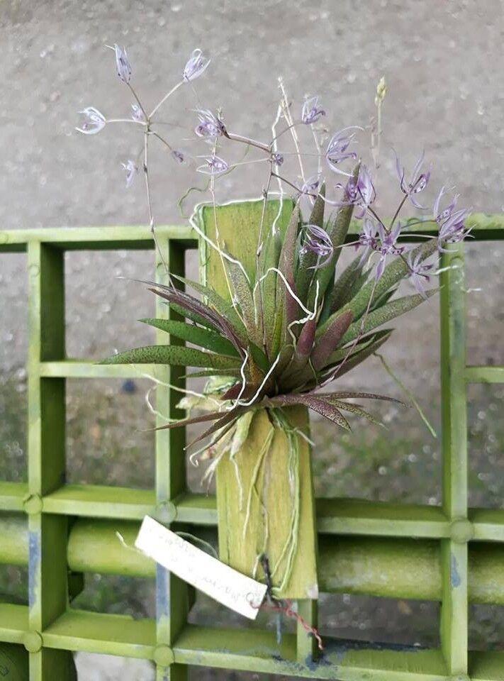 Macroclinium Aurorae tamaño de floración planta de orquídea Tailandia CITES Fito
