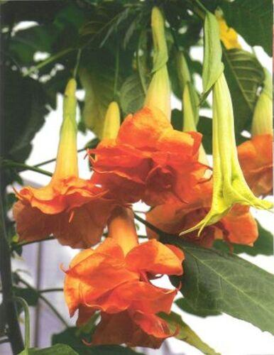 Datura HERRENHAUSER GARTEN lot  2 plants BRUGMANSIA