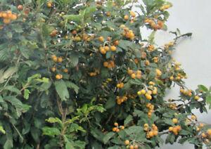 japanisch mispel bucht laurel bittter orange seltene frucht baum kollektion ebay. Black Bedroom Furniture Sets. Home Design Ideas