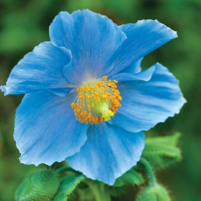 PERENNIAL FLOWER HIMALAYAN BLUE POPPY 500 SEEDS MECONOPSIS BETONICIFOLIA