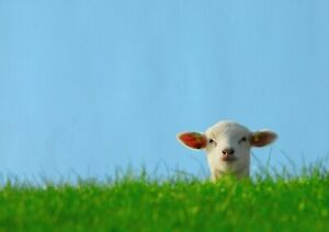 A1-Cute-Sheep-Nature-Canvas-Wall-Poster-Art-Print-60-x-90cm-180gsm-Gift-15582