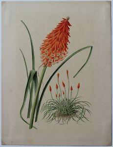 E-GODART-TRITOMA-MAC-OVANI-Aquarelle-originale-publiee-in-Revue-Horticole-1879