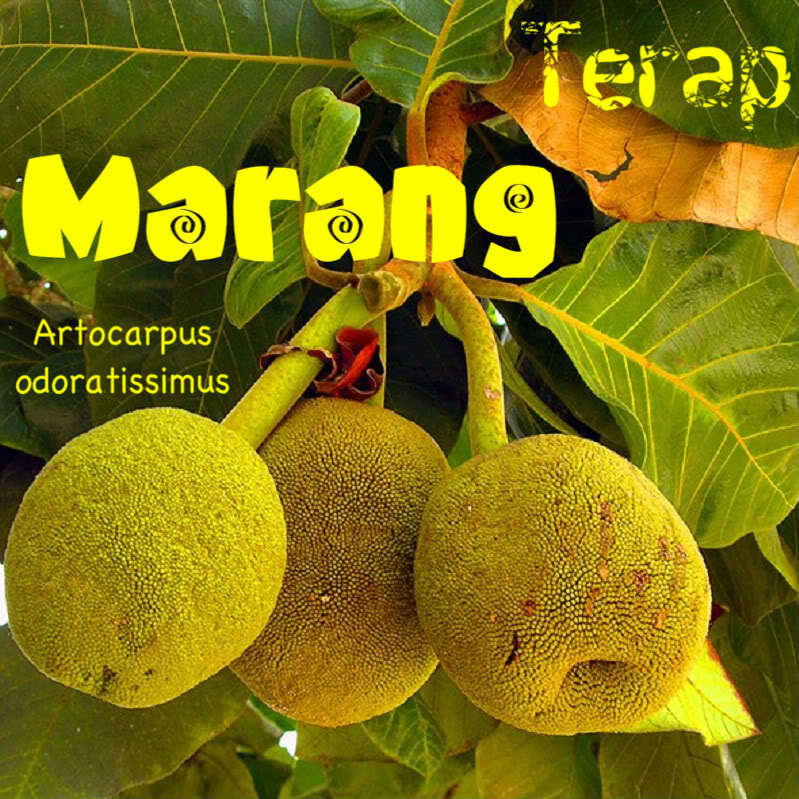 ~MARANG~ Artocarpus odoratissimus TERAP taste of VANILLA ICE CREAM Lg szd Plant