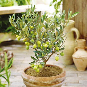15pcs Mini Olive Tree Seeds Bonsai