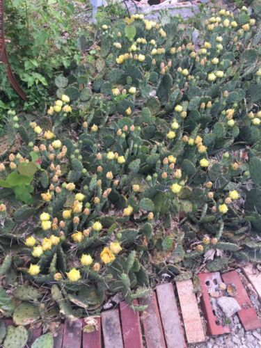 Lot Of 100 Winter Hardy Prickly Pear Cactus