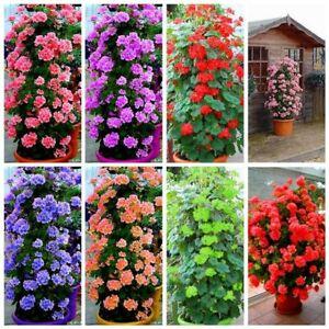 100-Pcs-Climbing-Geranium-Seeds-Pelargonium-Plant-Bonsai-Perennial-Flower-Garden