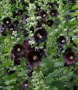 Stockrose-schwarz-50-Samen-mehrjahrige-Staude-Althea-Rosea-Nigra-Raritat