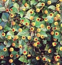 ACMELLA OLERACEA, SPILANTHES, BRAZIL CRESS 60 seeds