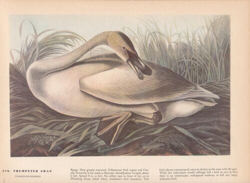 "1942 Vintage AUDUBON BIRDS #376 /""TRUMPETER SWAN/"" BEAUTIFUL Color Art Plate Litho"