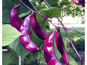 Bangladeshi লাল সিম Heirloom /'Jinke/' Parpol Hyacinth Bean Seeds 10 Pcs With Purp