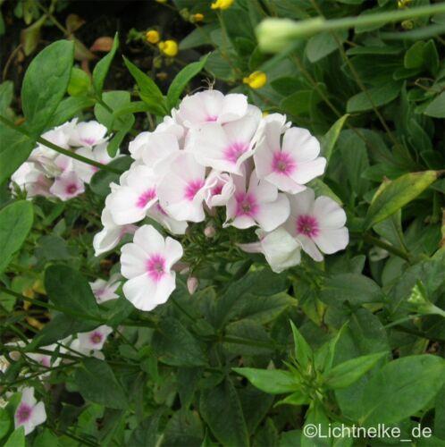 Phlox paniculata /' Swizzle /' Flammenblume Phlox Tb9