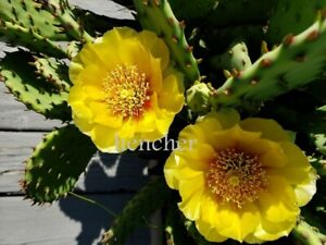 PA SALE ****Eastern Prickly Pear Cactus COLD HARDY IN Bucks County 3 PADS.***