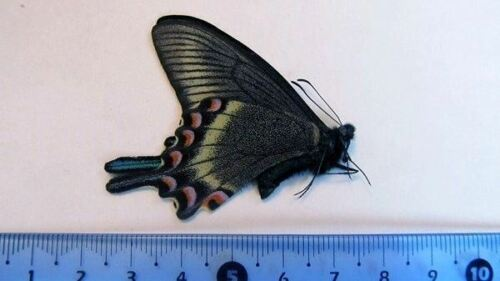 Papilio maackii maackii SPRING Form Butterfly FOLDED Taxidermy REAL Unmounted