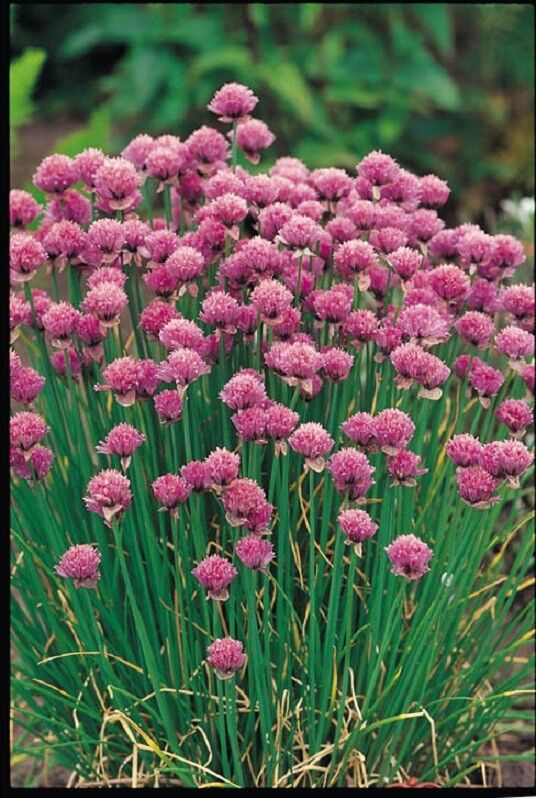 (327) 'KINGS' PREMIER QUALITY HERB chives seeds
