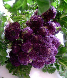 50 Purple Sprouting Broccoli Seeds 65 Days Garden Seeds | eBay